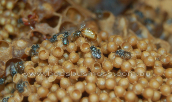 An Austroplebeia australis queen on brood cluster.