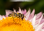 Common hoverfly.